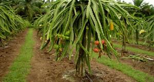 плантации питахайи вьетнам