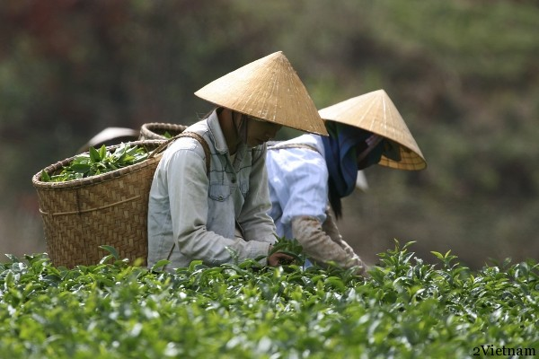 плантации чая во вьетнаме
